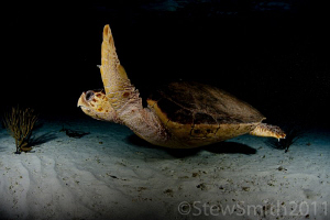 A turtle swims straight past me without a care in the world. by Stew Smith 